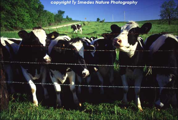 Holstein Cows, Winneshiek County Iowa