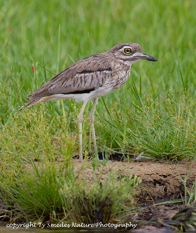 Water Thick-knee ,Botswana