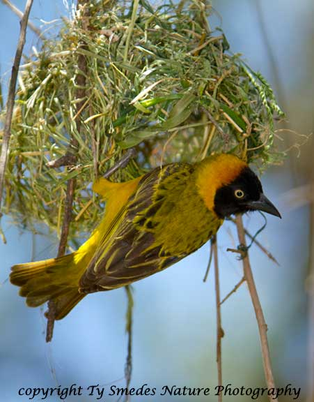 Spekes Weaver building a nest, northern Serengeti National Park, Tanzania