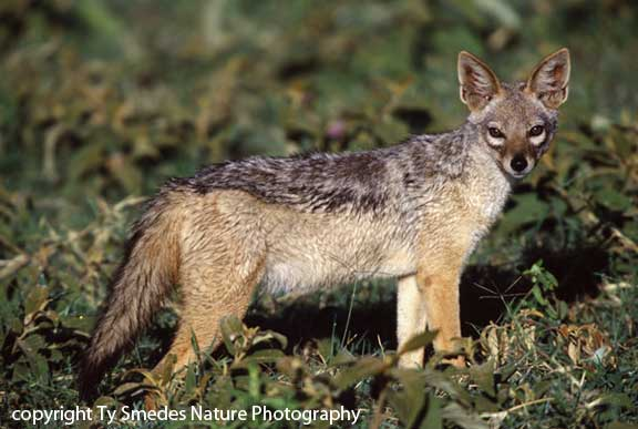 Black-backed Jackal, Ngorongoro Crater, Tanzania