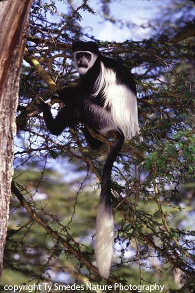 Colobus Monkey, Lake Naivasha, Kenya