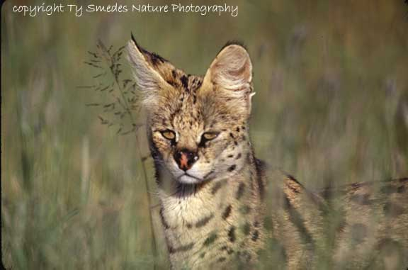 Serval Cat, Serengeti National Park, Tanzania