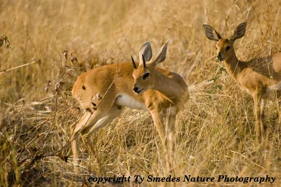 Steenbok, Chobe National Park, Botswana