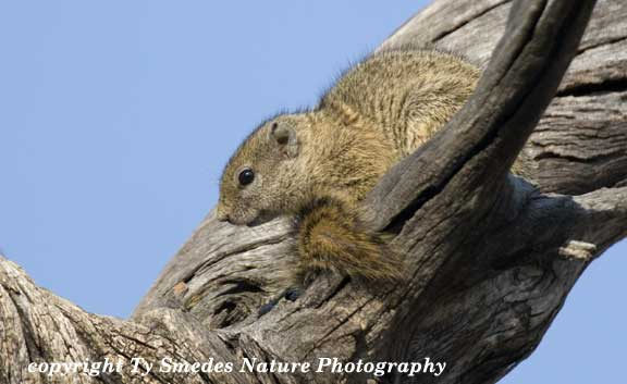 Tree Squirrel, Chobe National Park, Botswana