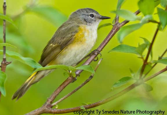 Redstart (American) - female
