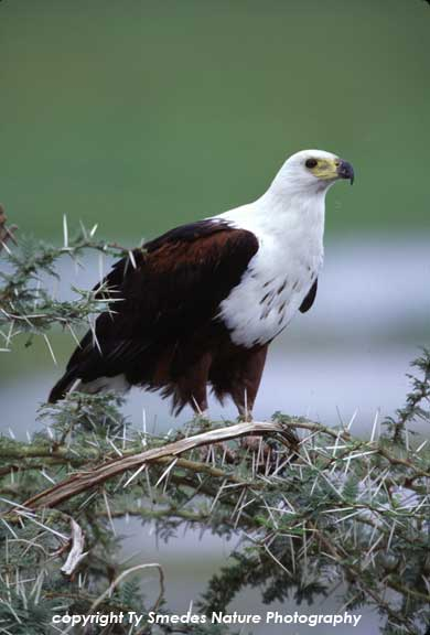 African Fish Eagle, Amboseli National Park, Kenya