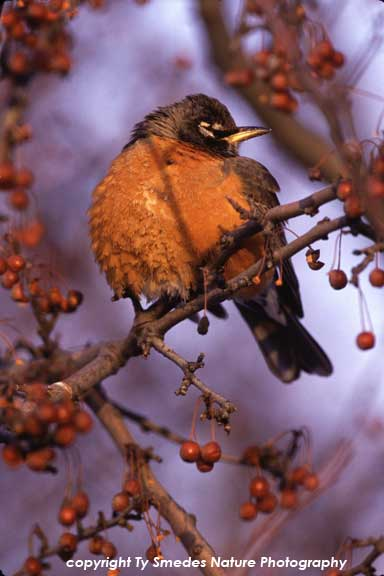 American Robin in Hawthorn Tree