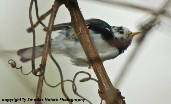 Leucistic Black-throated Blue Warbler with white head