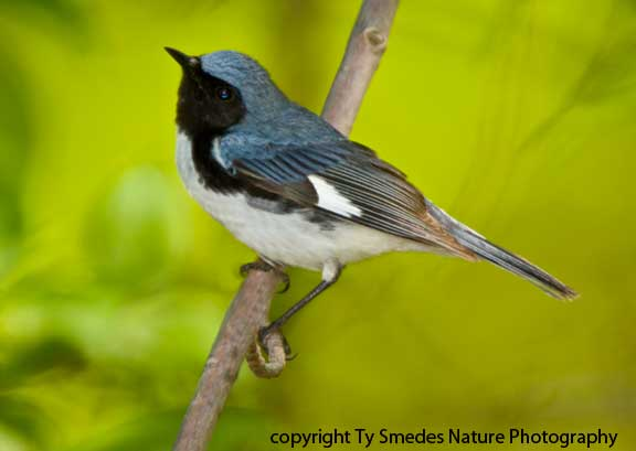 Black-throated Blue Warbler - male