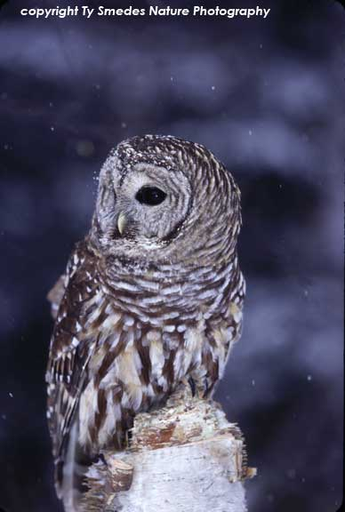 Barred Owl in Snowstorm