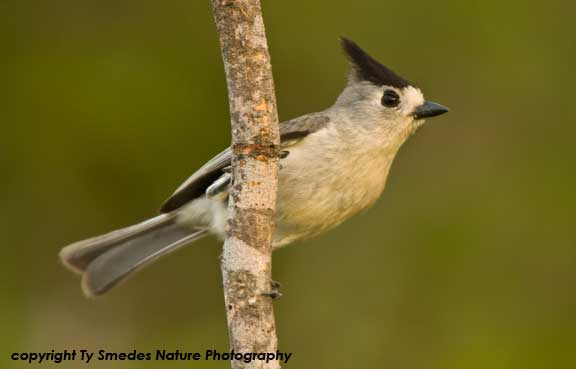 Black-crested (Mexican) Titmouse