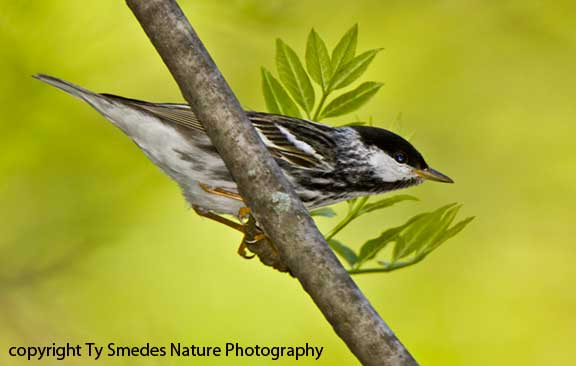 Blackpoll Warbler - male