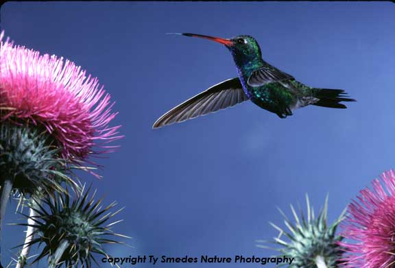 Broadbilled Hummingbird in Thistle Patch