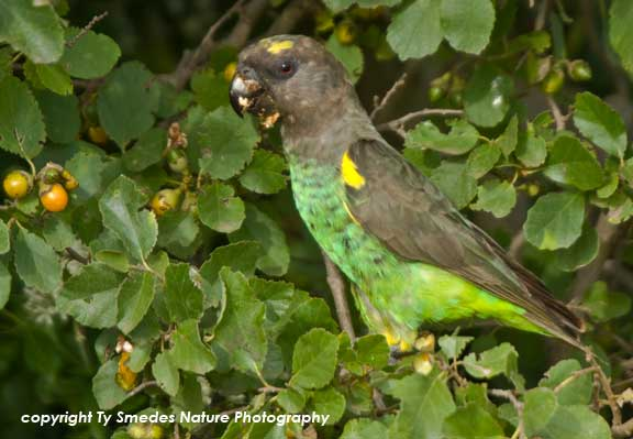 Brown Parrot, Serengeti National Park, Tanzania