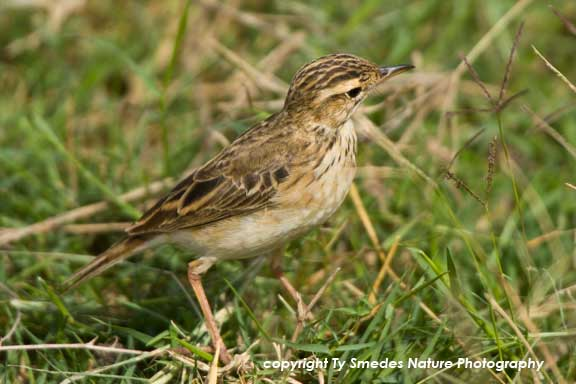 Bush Lark , Amboseli National Park, Kenya