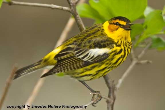 Cape May Warbler Singing