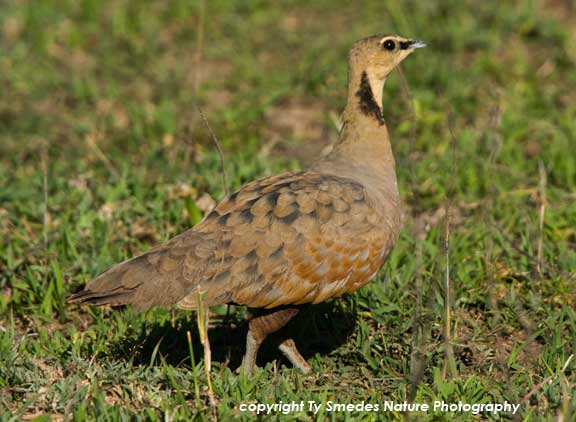 Chestnut-bellied Sandgrouse in Tanzania