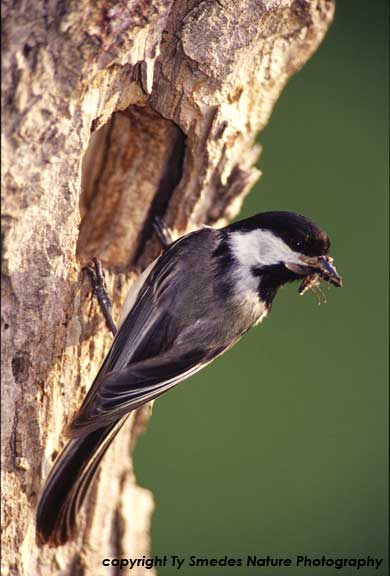 Black-capped Chickadee at nest, with insect