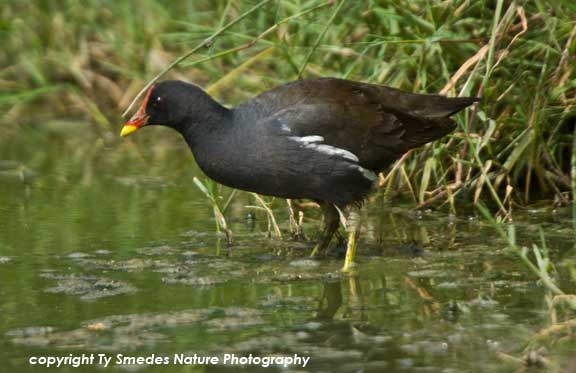 Common Moorhen, Serengeti National Park, Tanzania
