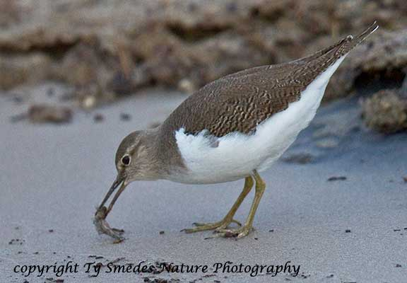 Common Sandpiper, Chobe National Park, Botswana