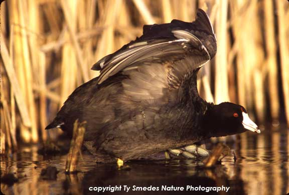 American Coot, stretching