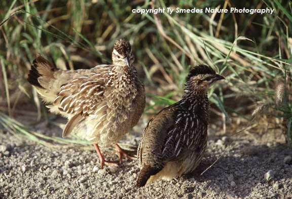 Crested Francolin pair in Tarangire National Park, Tanzania