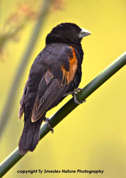 Fan-tailed Widowbird, Ngorongoro Crater, Tanzania