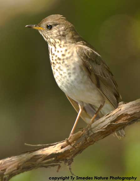Gray-cheecked Thrush
