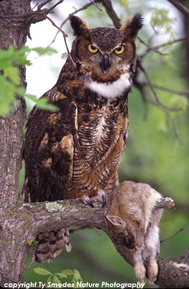 Great Horned Owl with Cottontail Rabbit