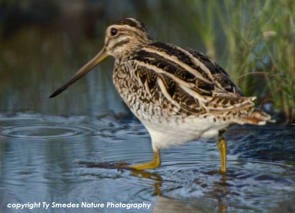 Great Snipe, Serengeti National Park, Tanzania