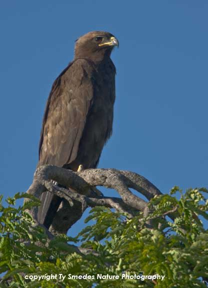 Greater Spotted Eagle, Serengeti National Park, Tanzania