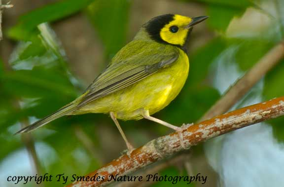 Hooded Warbler - male