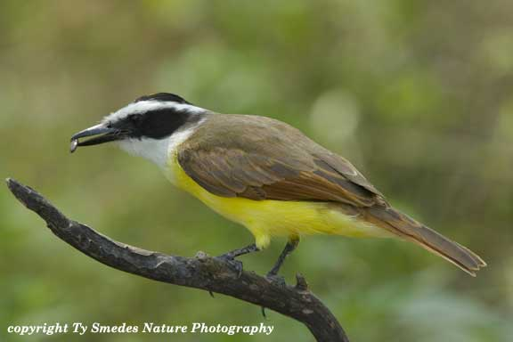 Kiskadee in South Texas