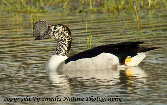 Knob-billed Duck, Chobe River, Chobe National Park, Botswana