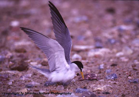 Least Tern at nest, with eggs