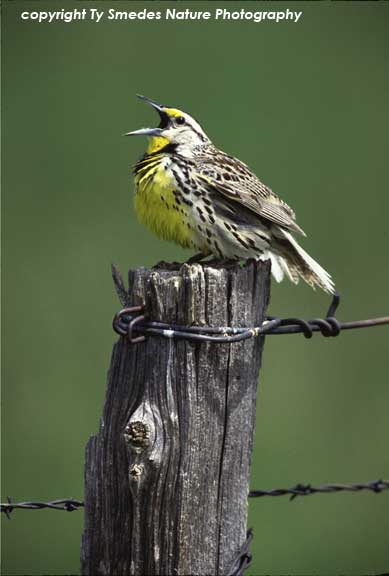 singing Meadow Lark