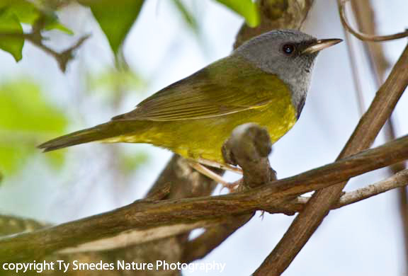 Mourning Warbler (male)