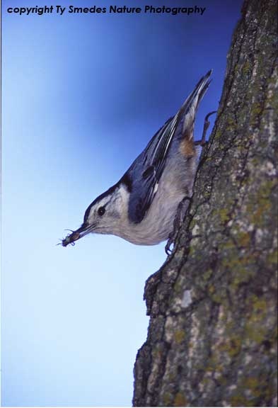 White-Breasted Nuthatch with bug