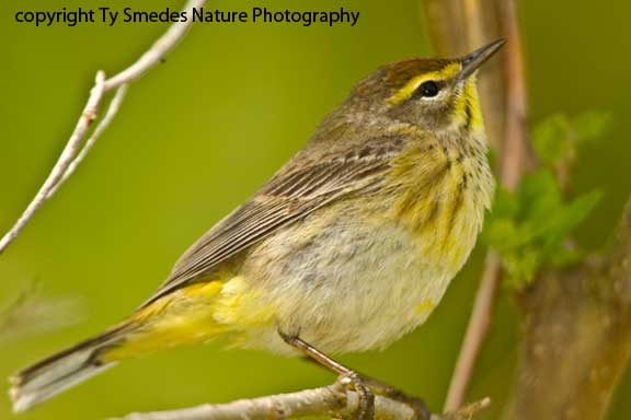 Palm Warbler - male