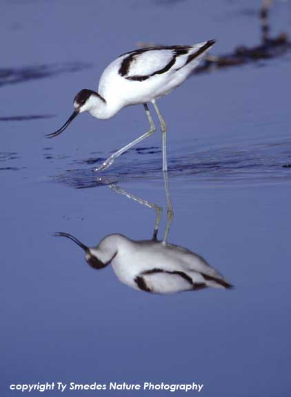 Pied Avocet at Lake Magadi, Ngorongoro Crater