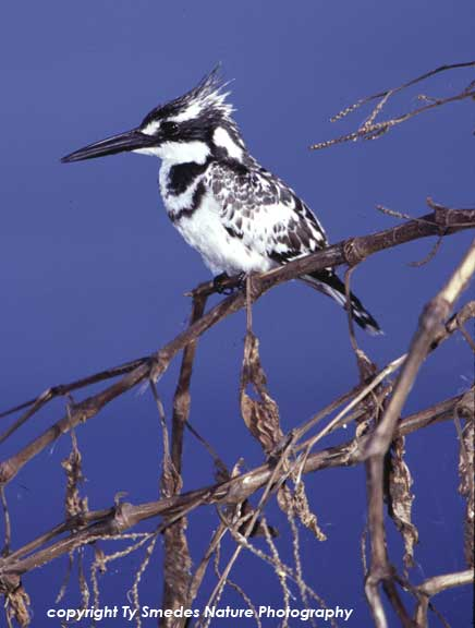 Pied Kingfisher, Lake Naivasha, Kenya