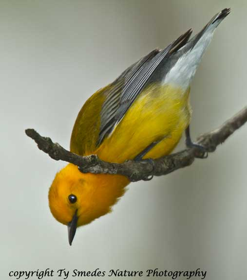 Prothonotary Warbler - male