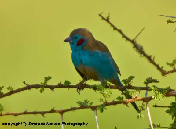 Red-cheeked Cordon-Bleu, Serengeti National Park, Tanzania