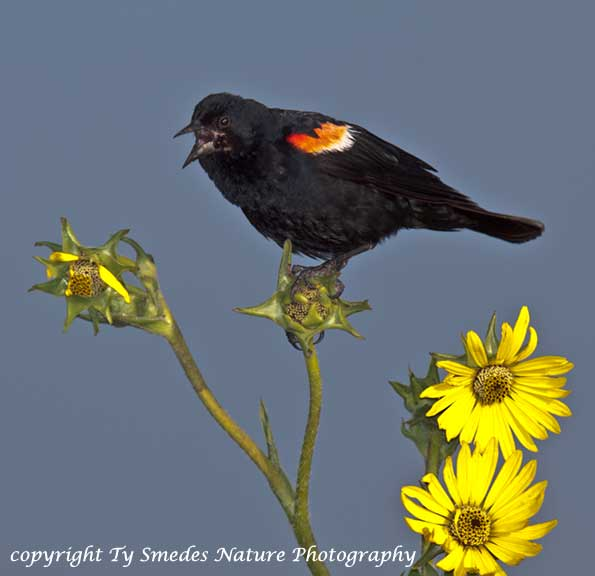 Redwinged Blackbird, Singing from a Compass Plant