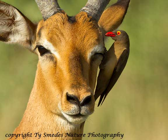 Red-billed Oxpecker, Botswana