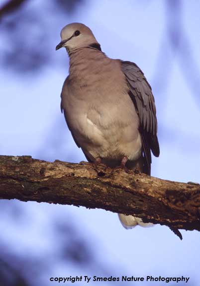 Ring-necked Dove in northern Tanzania