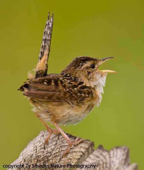 Singing Sedge Wren