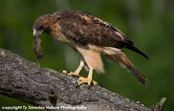 Red-tailed Hawk, with mouse