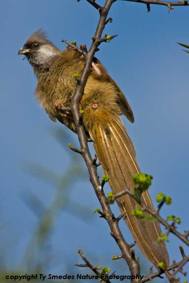 Speckled Mousebird, Serengeti National Park, Tanzania