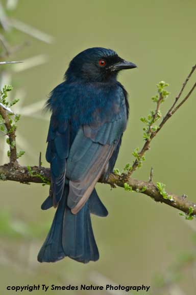 Square-tailed Drongo , Serengeti National Park, Tanzania